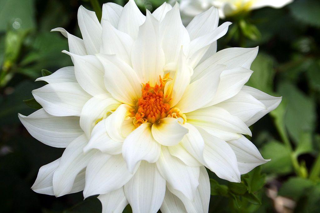 Filebeautiful white flower forestwanderg wikimedia commons filebeautiful white flower forestwanderg mightylinksfo Images