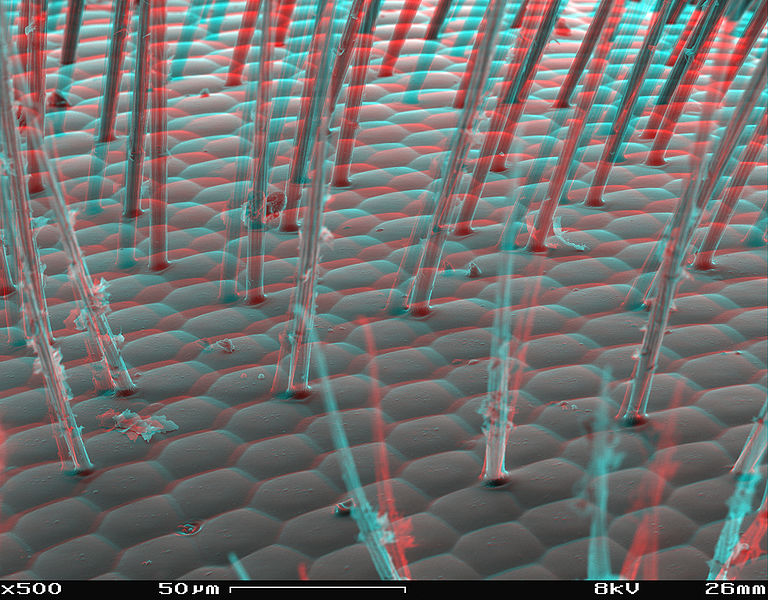 File:Bee´s eye SEM anaglyph.JPG