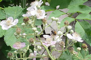 Blackberry - A bee, Bombus hypnorum, pollinating blackberries