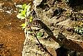 Beech tree, Minnowburn, Belfast - geograph.org.uk - 1451760.jpg