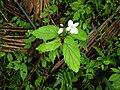 Begonia decandra.jpg