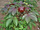 Bellyache Bush (Jatropha gossipifolia) in Hyderabad, AP W IMG 9219.jpg