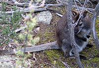 Klokan rudokrký v lese (Freycinet NP, Tasmánie)