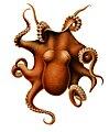 Benthoctopus levis.jpg
