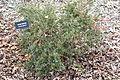 Berberis darwinii - McConnell Arboretum & Botanical Gardens - DSC02961.JPG