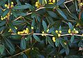 Berberis julianae E.jpg