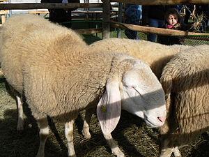 Bergamasca sheep - Image: Bergamasca