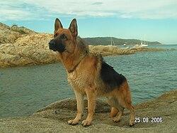 Berger allemand à la plage.jpg