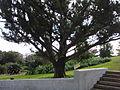 Bermuda Cedar-01.jpg