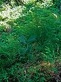 Beskid Śląski – las w Rezerwacie Barania Góra i ciemierzyca zielona.jpg