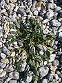 Beta maritima leaf.JPG
