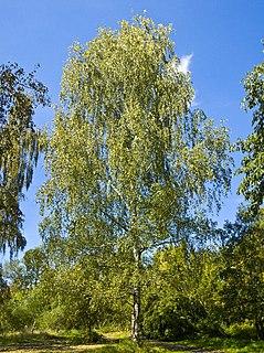 Birch genus of plants