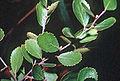 Betula pumila.jpg