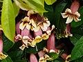 Bignonia capreolata Périgueux (1).jpg