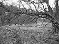 Birchwoods, Glenkinnon. - geograph.org.uk - 97885.jpg