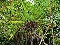 Bird's Nest Fern (Asplenium nidus) (7128086655).jpg