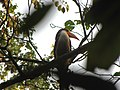 Bird White-throated Brown Hornbill Anorrhinus austeni IMG 9075 15.jpg