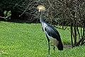Birds of Eden Park Crowned Crane - Żuraw Królewski.jpg