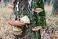 Birkenporling - birch polypore - birch bracket - razor strop - Piptoporus betulinus - 08b.jpg