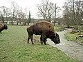 Bison on the Rhug estate - 3 - geograph.org.uk - 727518.jpg