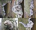 Bjerkandera adusta (Smoky Bracket, D= Angebrannter Rauchporling, F= Polypore brûlé, NL= Grijze buisjeszwam) white spores and causes white rot, at Planken Wambuis - panoramio.jpg