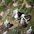 Black-browed Albatross Nests (5585846245).jpg