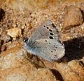 Black-eyed Blue. Glaucopsyche melanops. - Flickr - gailhampshire (7).jpg