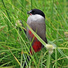 Black-headed waxbill (Estrilda atricapilla).jpg