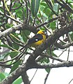 Black-thighed Grosbeak.jpg