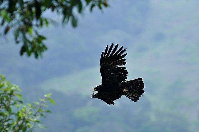 Image result for black eagle in the sky