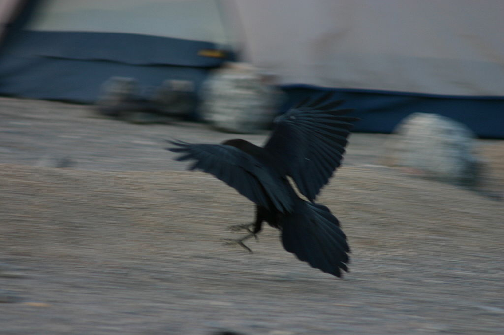 http://upload.wikimedia.org/wikipedia/commons/thumb/4/46/Black_Bird_Landing_as_Seen_from_the_Back.jpg/1024px-Black_Bird_Landing_as_Seen_from_the_Back.jpg