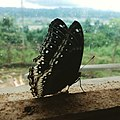 Black Butterfly Beautiful.jpg