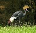 Black Crowned Crane 1194px.jpg