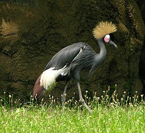 Black crowned crane - Image: Black Crowned Crane 1194px