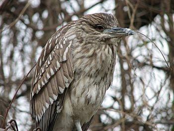 Juvenile Black Crowned Night Heron