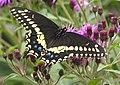 Black Swallowtail Papilio polyxenes 1700px.jpg