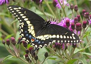 papillon du cleri - Image De Papillon
