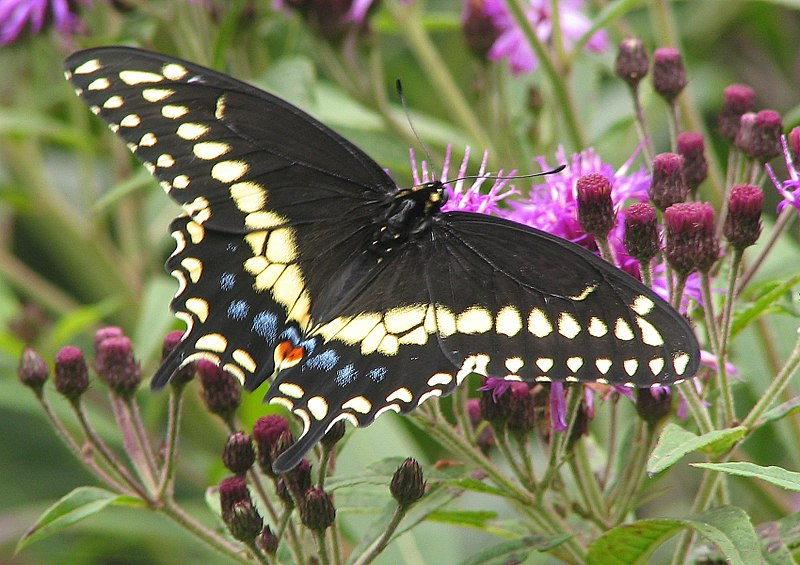 Black Swallowtail Caterpillars and The Sacrificial Parsley