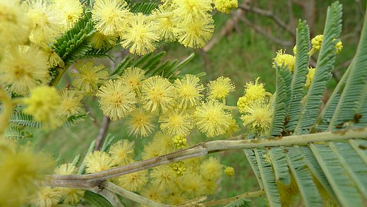 Black wattle Acacia mearnsii Black Wattle flower (6285463535).jpg