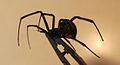 Black Widow spider, Female.jpg