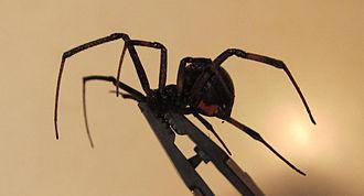 Latrodectus - L. hesperus profile