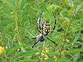 Black and Yellow Garden Spider (5343669220).jpg