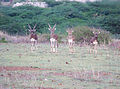 Black bucks in balaghat lane KGF.jpg