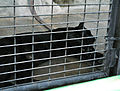 Black panther in Pata Zoo 2.jpg