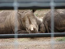 Black rhinoceros 2004.jpg