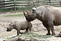 Black rhinoceros mother and calf at the Pittsburgh Zoo 03.jpg
