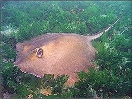 Black sea fauna stingray 01
