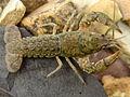 Blackbarred Crayfish (13990939860).jpg