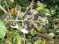 Blackberries - geograph.org.uk - 248559.jpg