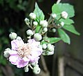 Blackberry-flower.jpg